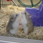 hamsters, aggressive hamsters, hamster care